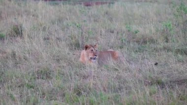 Lion sitting in the grass. Evening. — Stock Video