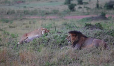 Lion and Lioness on a hill. Masai Mara. Evening. — Stock Video
