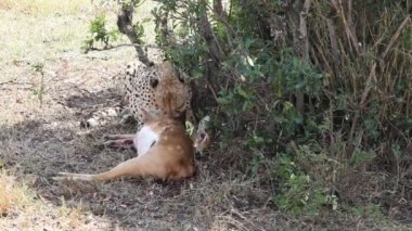 Cheetah eating a dead gazelle. — Stock Video