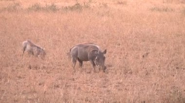 Warthog Family On The Move Gfhd — Vidéo