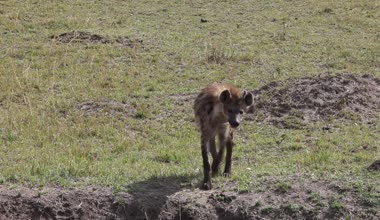 Spotted Hyena Walking Close-Up — Vidéo