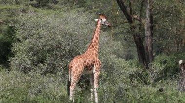Giraff — Stockvideo