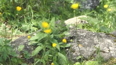 Close up small yellow wild flower — Stock Video