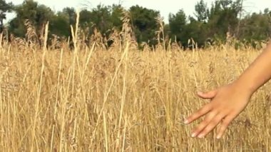 Close up of a girls hand touching wheat in summer field — Stock Video