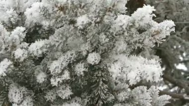 Pine branch covered with snow on a winter day — Stok video