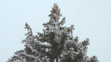 High spruce with cones under the snowfall on a winter day — Wideo stockowe