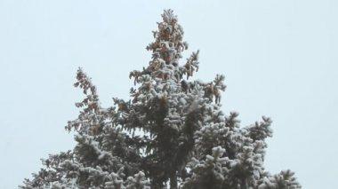 Grande épinette avec cônes sous les chutes de neige sur une journée d'hiver — Vidéo