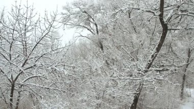 Snowfall in a winter park with snow covered trees — Vídeo stock