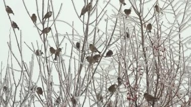 Birds on a tree over sky at winter day — ストックビデオ