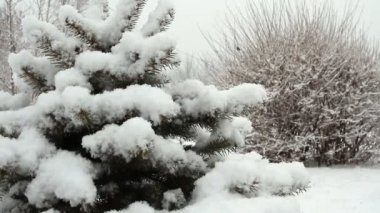 Snowfall asleep spruce in the park with snow — Stok video