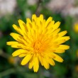 Beautiful image of a detailed yellow dandelion — Stock Photo #67847587