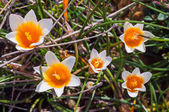 Crocus flowers in the sunshine. Spring on the island of Mykonos, — Stock Photo