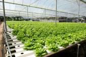Hydroponic vegetable — Stock Photo