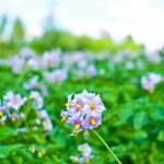 Purple flowers of potato — Stock Photo #58066853