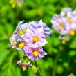 Purple flowers of potato — Stock Photo #58066883