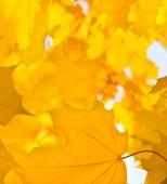 Yellow leaf of maple — Stock Photo