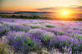Meadow of lavender at sunset — Stock Photo
