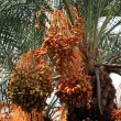 Date palm — Stock Photo #64974513