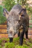 Stuffed wild boar — Stock Photo