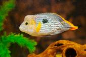 Aequidens rivulatus. Green Terror Cichlid in aquarium. — Stock Photo