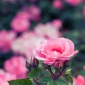 Beautiful pink garden rose on flowerbed — Stock Photo