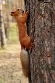 écureuil dans un arbre — Photo