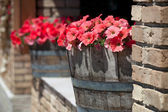 Red flowers in wooden tubs on street — Stock Photo