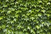 Muur van groene bladeren — Stockfoto