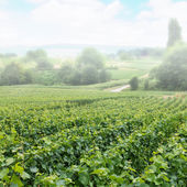 Vineyard landscape in fog, Montagne de Reims — Stock Photo