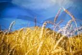 Flag of Ukraine and field of gold wheat under sky — Stock Photo