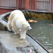 The polar bear goes at the pool in a zoo of Yekaterinburg. — Stok fotoğraf #51858269