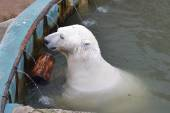 The polar bear swims in the zoo pool in Yekaterinburg. — Stock Photo
