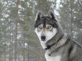 Blue eyes husky dog — Foto Stock