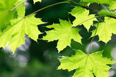 Maple leaves on natural green background — Stock Photo