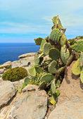 Opuntia between rocks — Stock Photo