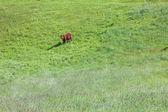 Один Браун Корова — Стоковое фото