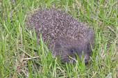 Hedgehog on the grass — Stock Photo