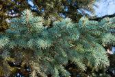 A blue fir tree branch — Stock Photo