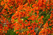 Flamboyant or Delonix Regia in a tropical garden — Stock Photo