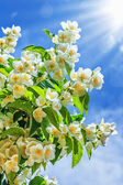Jasmine flower growing in garden with sun rays and blue sky — Stock Photo
