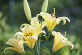 Yellow lilies — Stock Photo