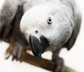 African Gray Parrot — Stock Photo