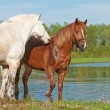 Two horses play in water on spring background — Stock Photo #68560241