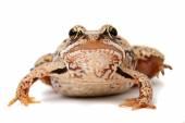 Rana temporaria. Grass frog on white background. — Stock Photo