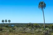 Dlaně na el palmar národní park, argentina — Stock fotografie