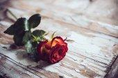 Fresh red rose — Stock Photo