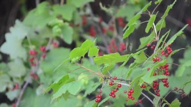 Currants on the twig of bush — Stock Video
