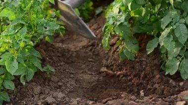 Earthing up potato with hoe — Стоковое видео