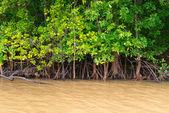 Mangroves trees in yellow river water — Stock Photo