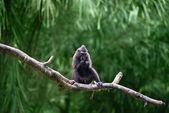 Crested Black Macaque (Macaca nigra)  — Stock Photo